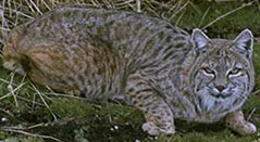 Bobcat, courtesy of Public-Domain-Image.com