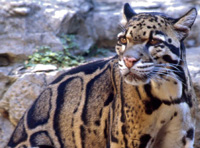 Clouded leopard, courtesy of Vearl Brown