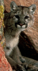 Cougar, courtesy of USFWS