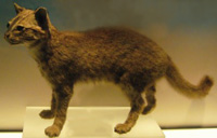Iriomote Cat, courtesy of Wikimedia Commons