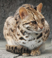 Leopard Cat, courtesy of Kuribo
