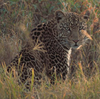 Leopard, courtesy of USFWS