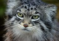 Pallas Cat, courtesy of Scottmliddell