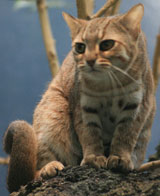 Rusty-spotted Cat, courtesy of UrLunkwill