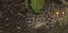 Sunda Clouded Leopard, courtesy of photosbypaulo.com