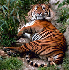 Tiger, courtesy of USFWS